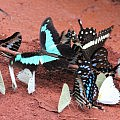 Butterflies - plenty in Cameroon