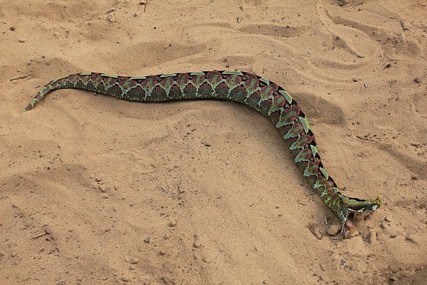 A deadly viper snake