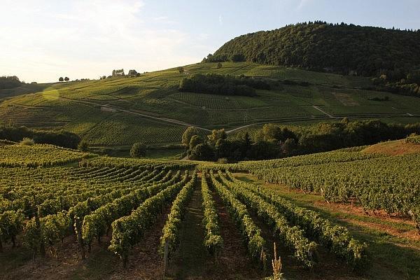 Vineyard in Bourgogne
