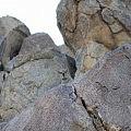 Rock dassie