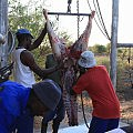 Butchering a kudu