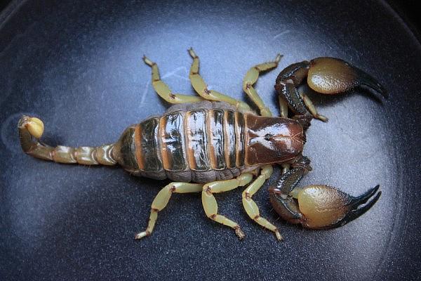 Scorpion: Opistophthalmus Wahlbergii