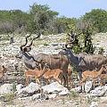 Kudus and impalas