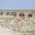 Wildebeests and springbocks