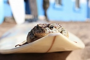 The surfing toad