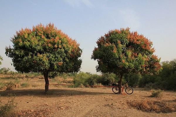Slacklining between mango trees