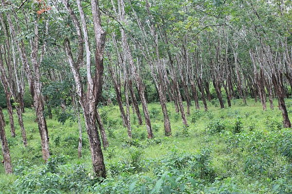 Firestone's rubber plantation